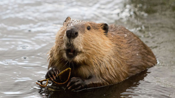 The Mighty Beaver!